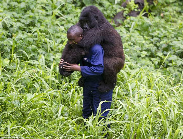 2D56257100000578-3275806-Hunting_The_gorillas_are_also_vulnerable_to_poachers_who_make_th-m-17_1445017377961